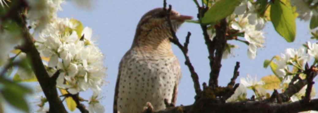 A l'écoute des oiseaux des vergers